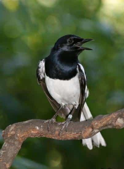 Burung Kacer Sumatera