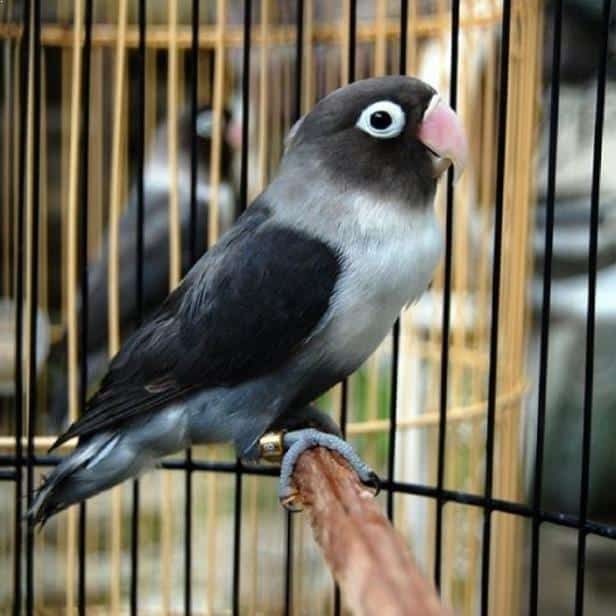 Burung Lovebird Batman