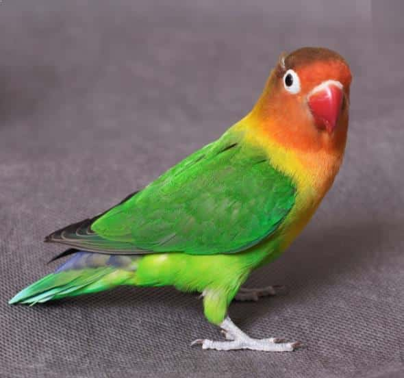 Burung Lovebird Biola