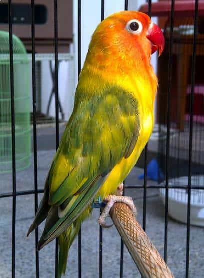 Burung Lovebird Blorok