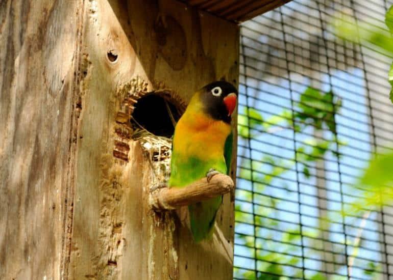 Burung Lovebird Dakocan