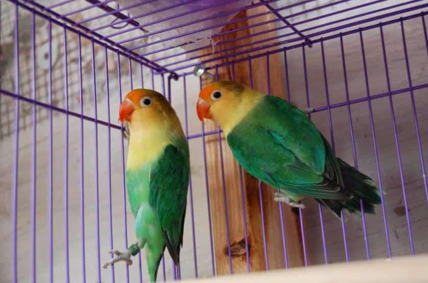 Burung Lovebird Parblue