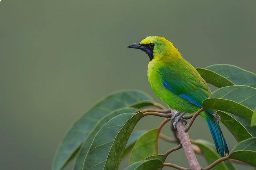 Burung Cucak Ijo Kalimantan