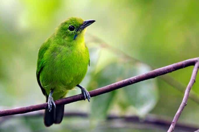 Burung Cucak Ijo Mini