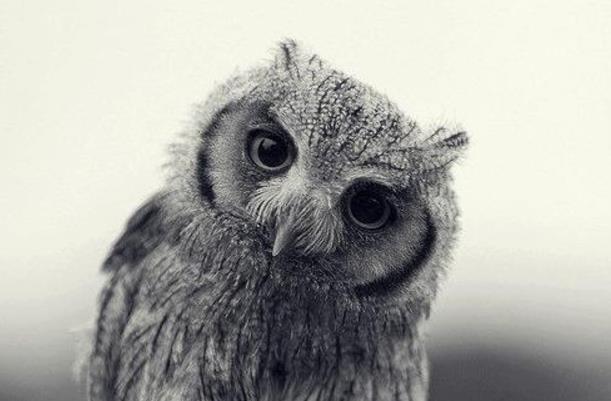 Burung Hantu Celepuk