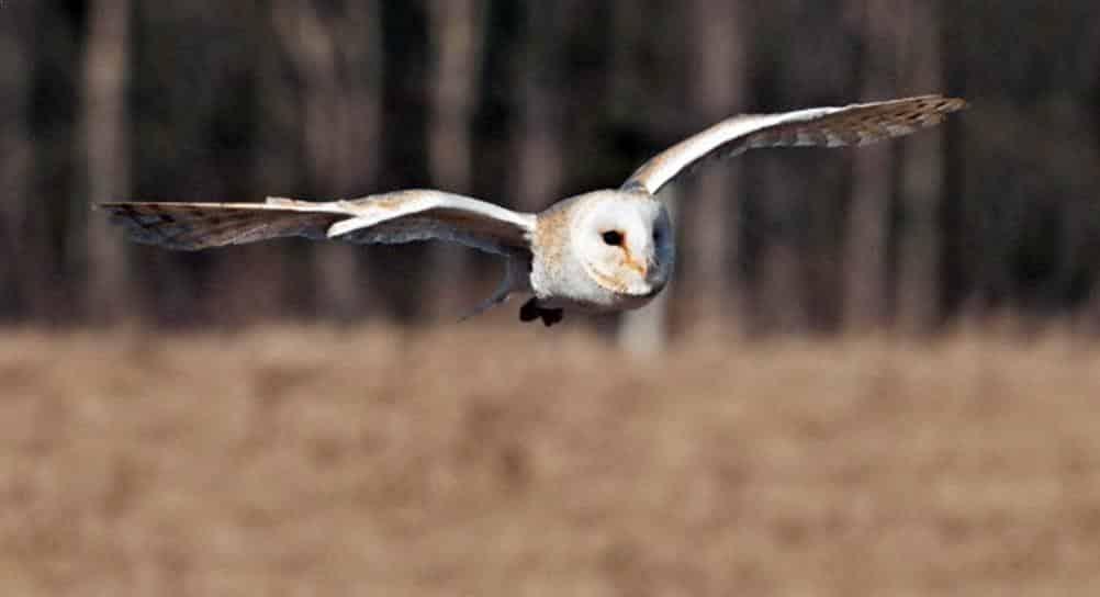95 Gambar Burung Hantu Warna Putih Gratis