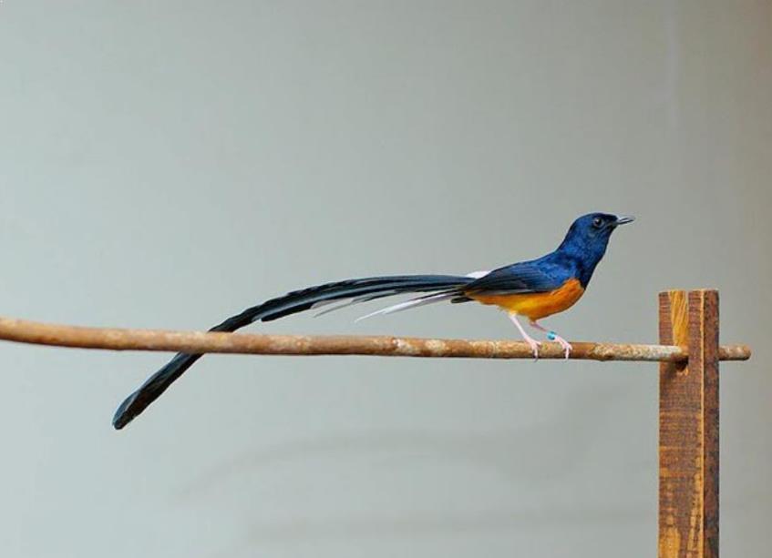 Burung Murai Medan
