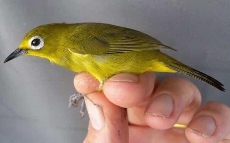 Daftar Harga Burung Pleci Terbaru September 2020 Lengkap