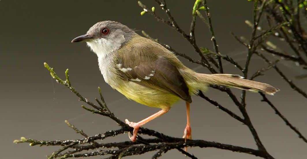 Burung Ciblek Semi
