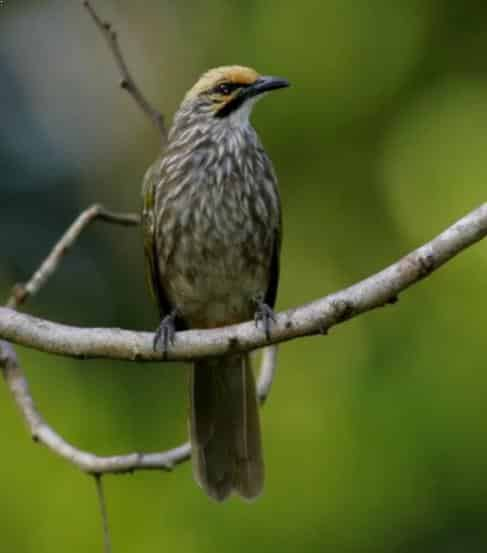 Burung Cucak Rowo Bakalan