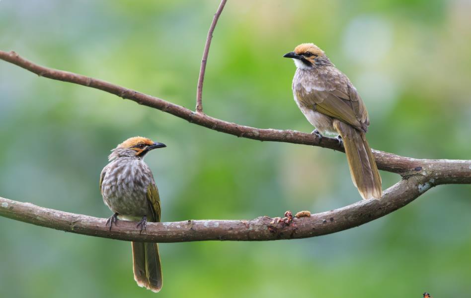 Burung Cucak Rowo