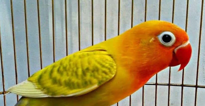 Burung Labet Blorok