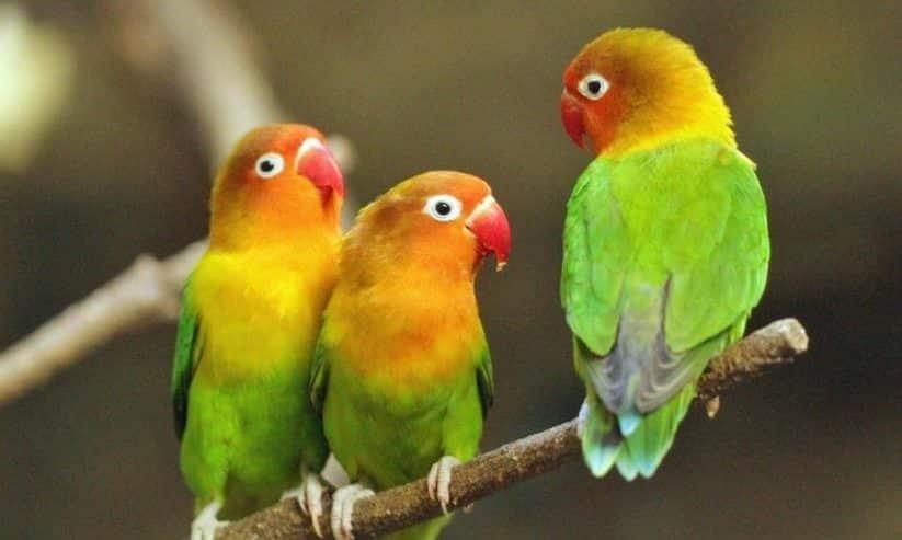 Burung Labet