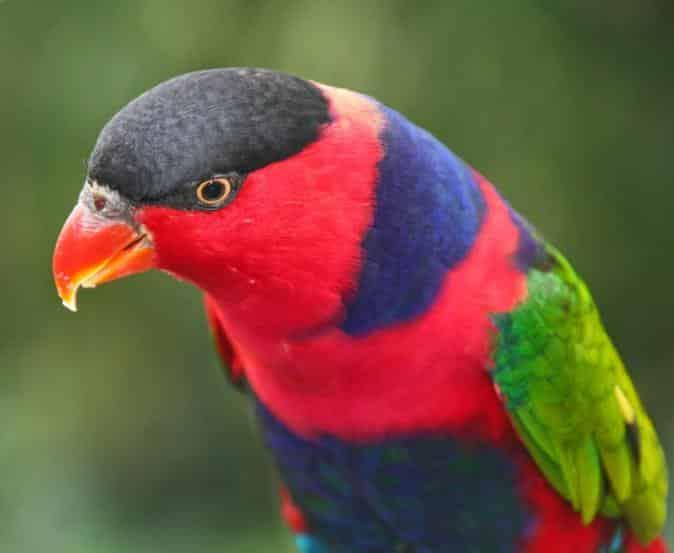 Burung Nuri Maluku
