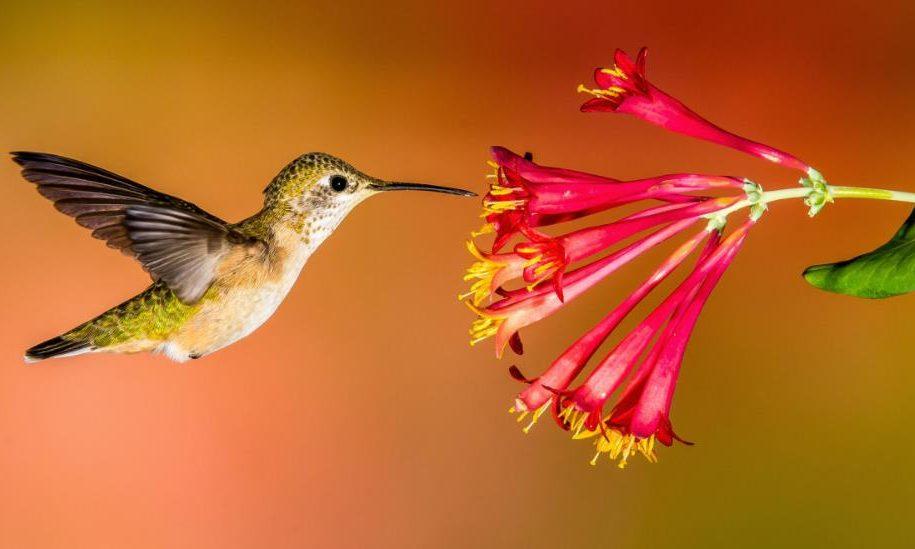 Foto Burung Kolibri