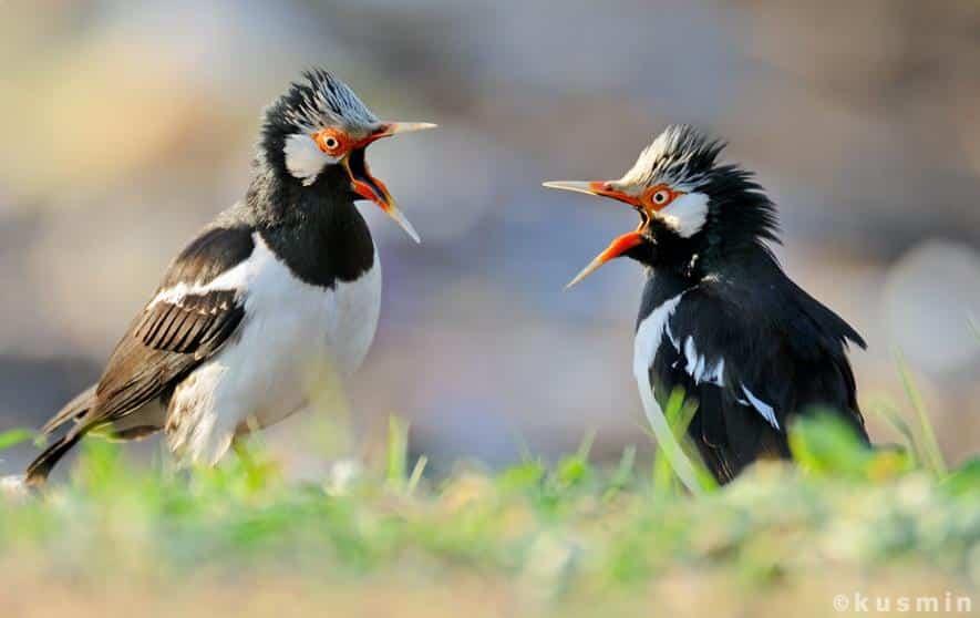 Gambar Burung Jalak Suren