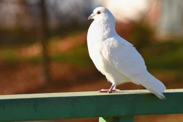 Burung Dara putih