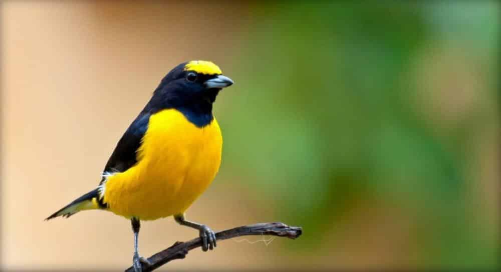 Burung Kicau Termahal