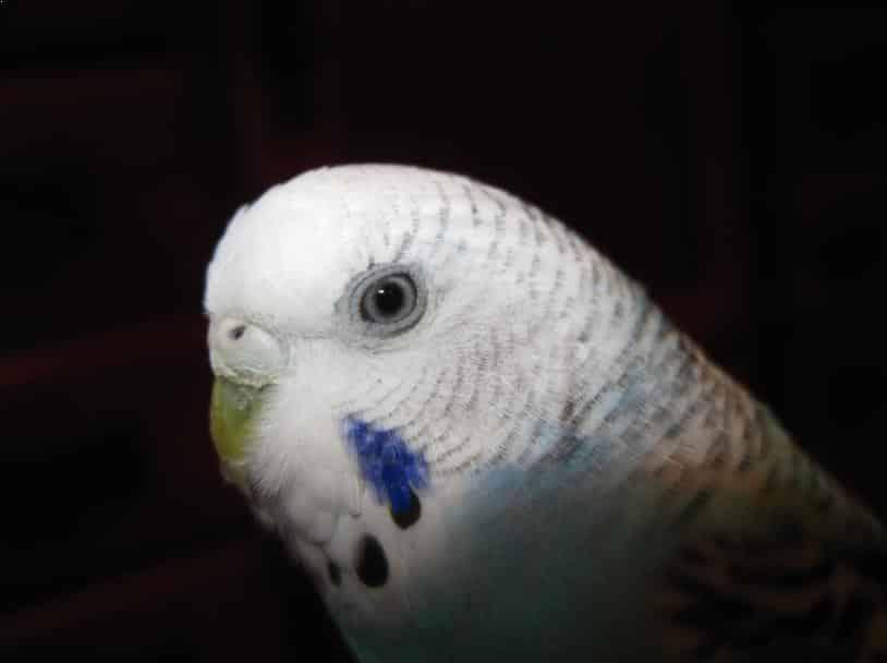 Burung Parkit Jantan