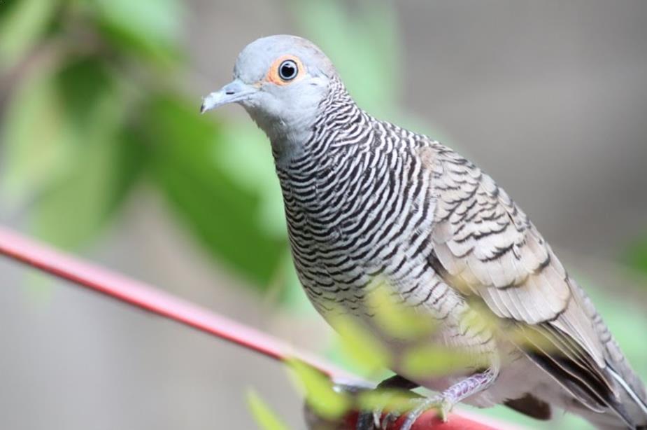 Burung Perkutut Lokal