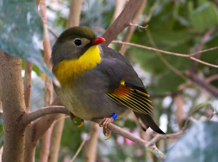 Burung Robin Jantan
