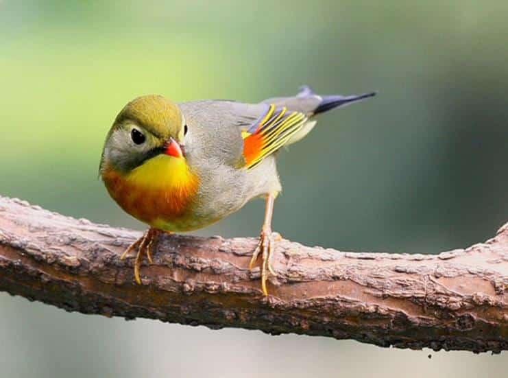 Burung Robin Jawa