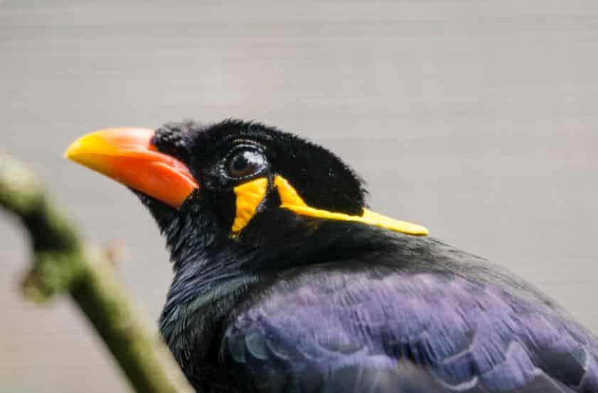 Foto Burung Beo