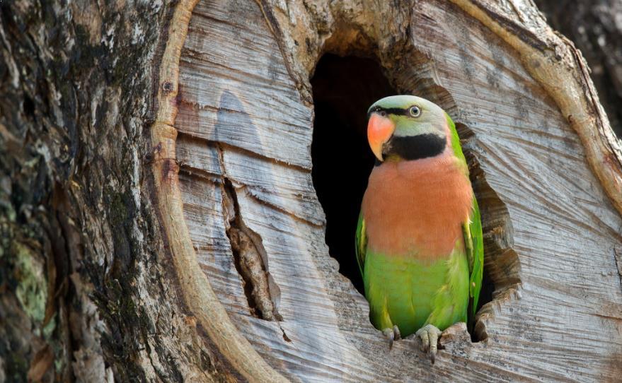 Gambar Burung Betet Jawa