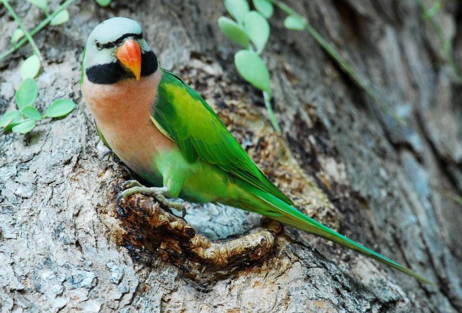 Gambar Burung Betet
