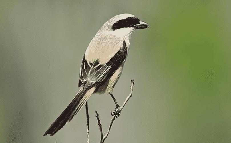 Gambar Burung Cendet Madura