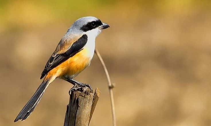 Gambar Burung Cendet