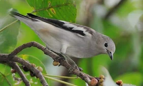 Gambar Burung Jalak Kapas