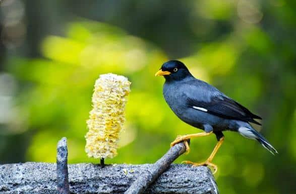 Gambar Burung Jalak Kebo