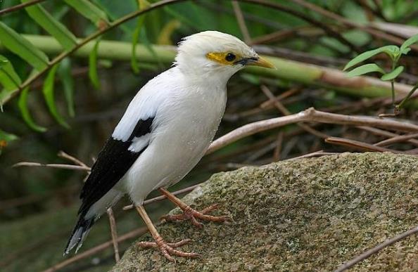 Gambar Burung Jalak Putih