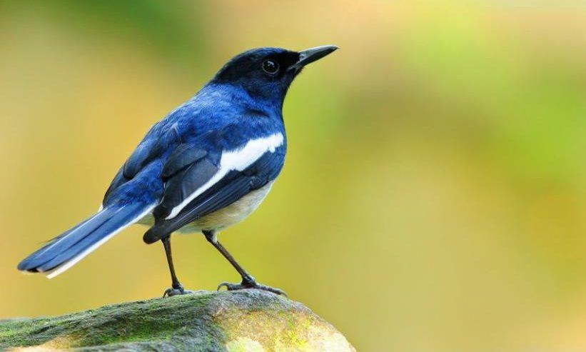 Gambar Burung Kicau