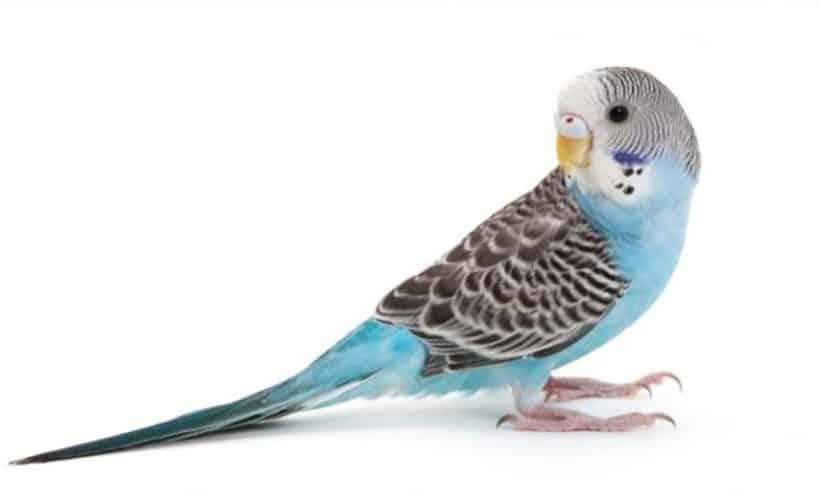 Gambar Burung Parkit