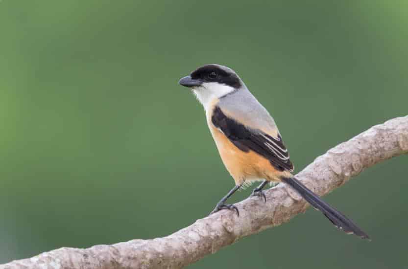 Gambar Burung Plentet Madura