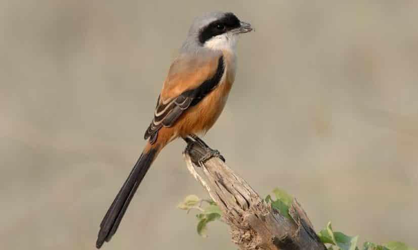 Gambar Burung Plentet
