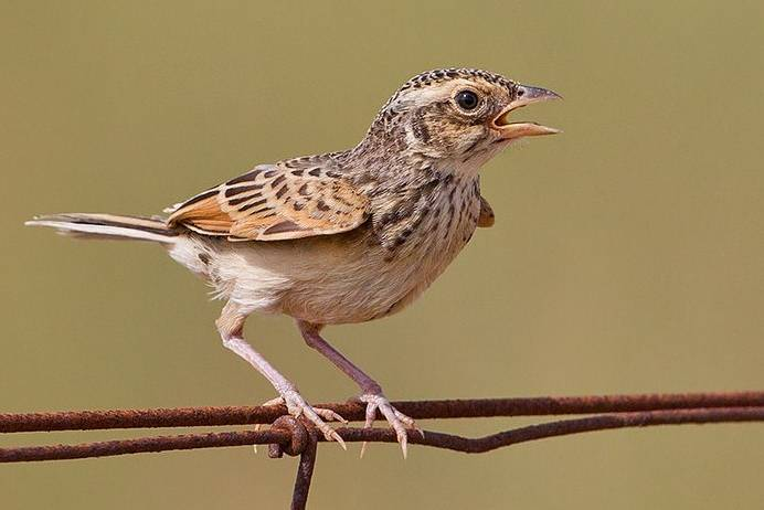 Burung-Branjangan-Jawa