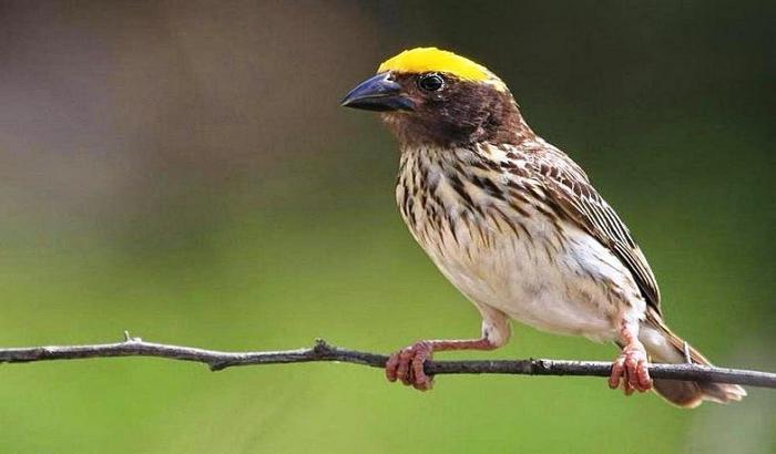 Daftar Harga Burung Manyar Terbaru September 2020