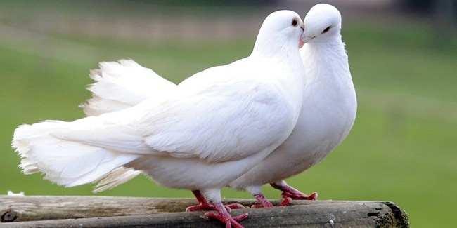 Burung Merpati Putih Pos
