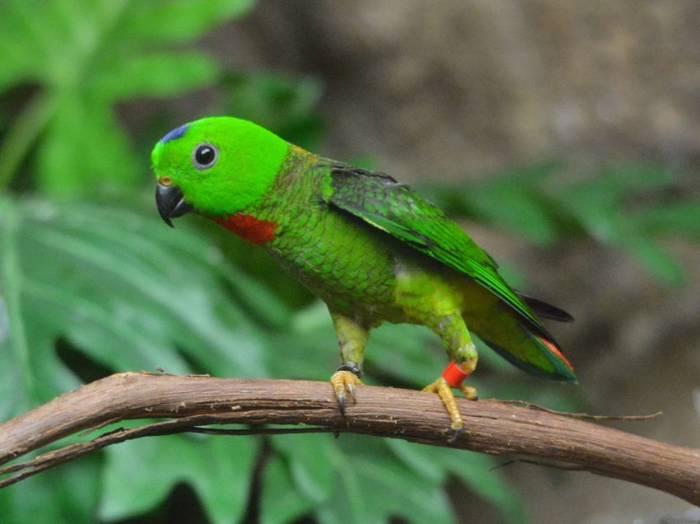 Burung Serindit Terbaru