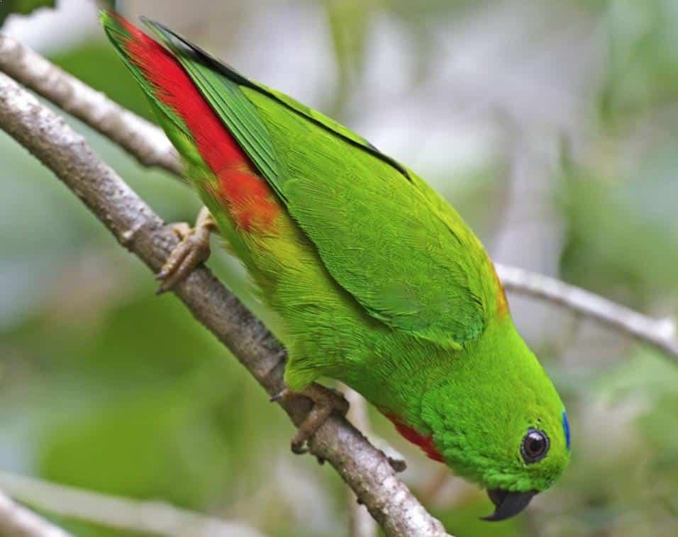 Foto Burung Serindit