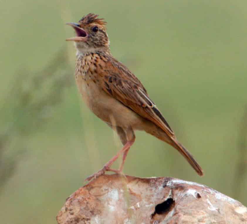Gambar Burung Branjangan Gacor