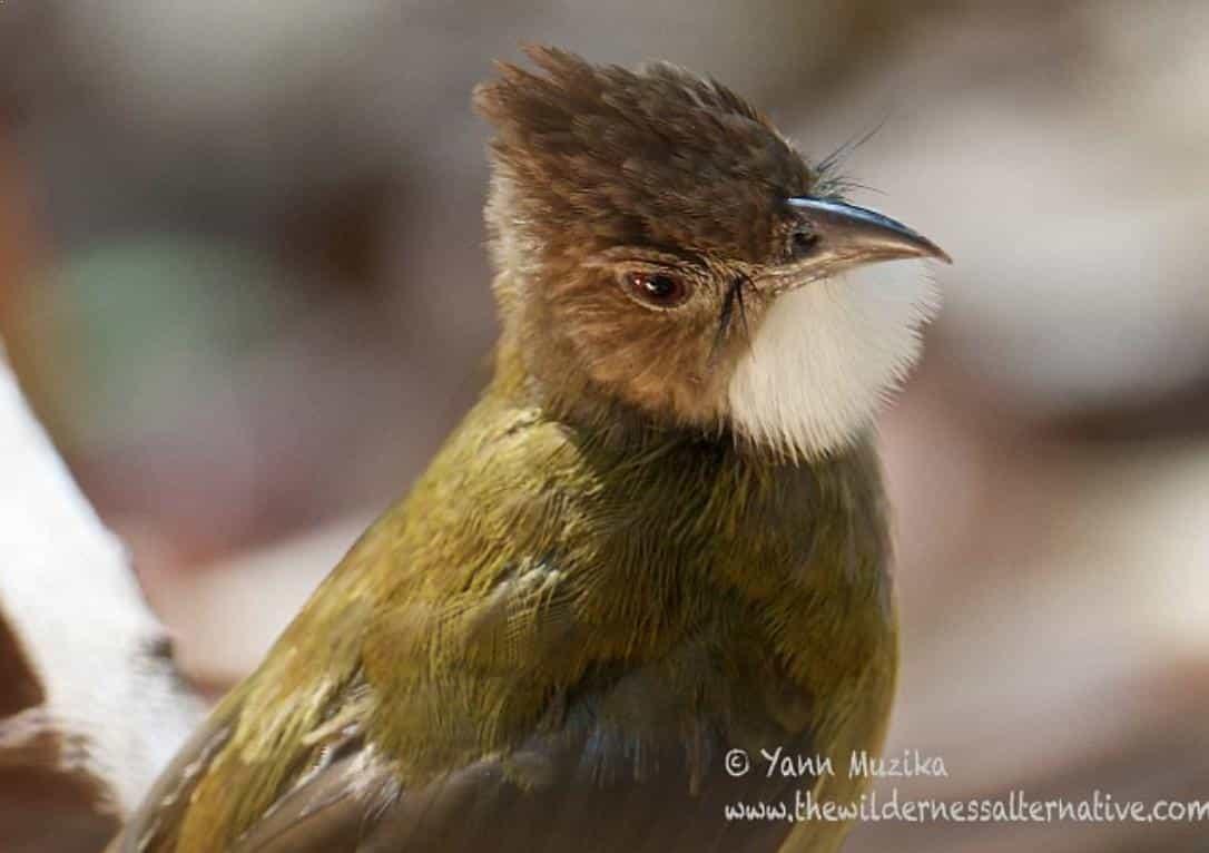 Gambar Burung Cucak Jenggot Jantan