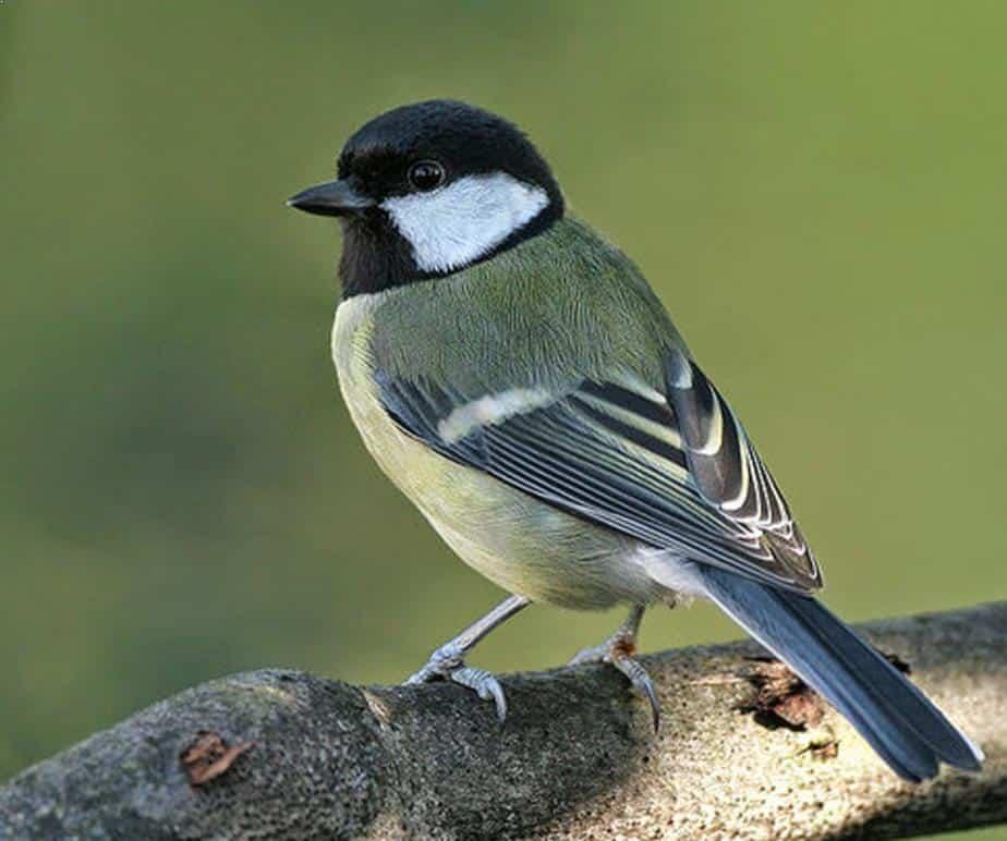Gambar Burung Gelatik Wingko