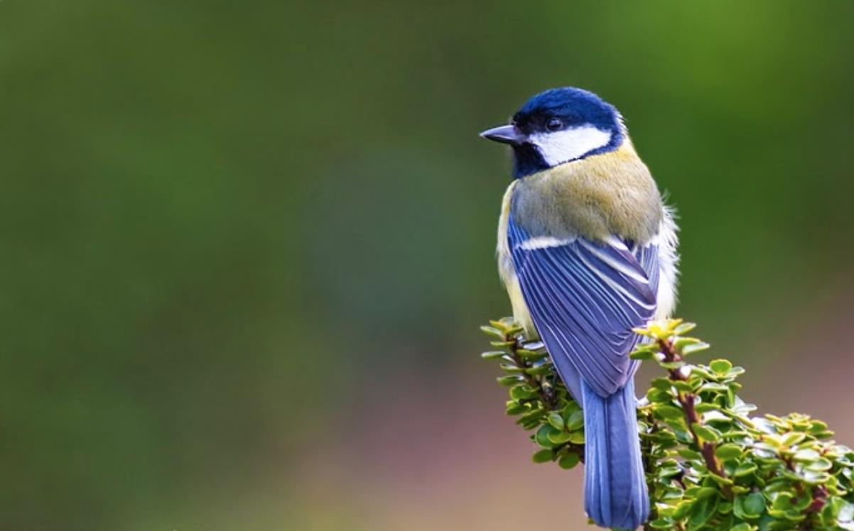 Gambar Burung Gelatik