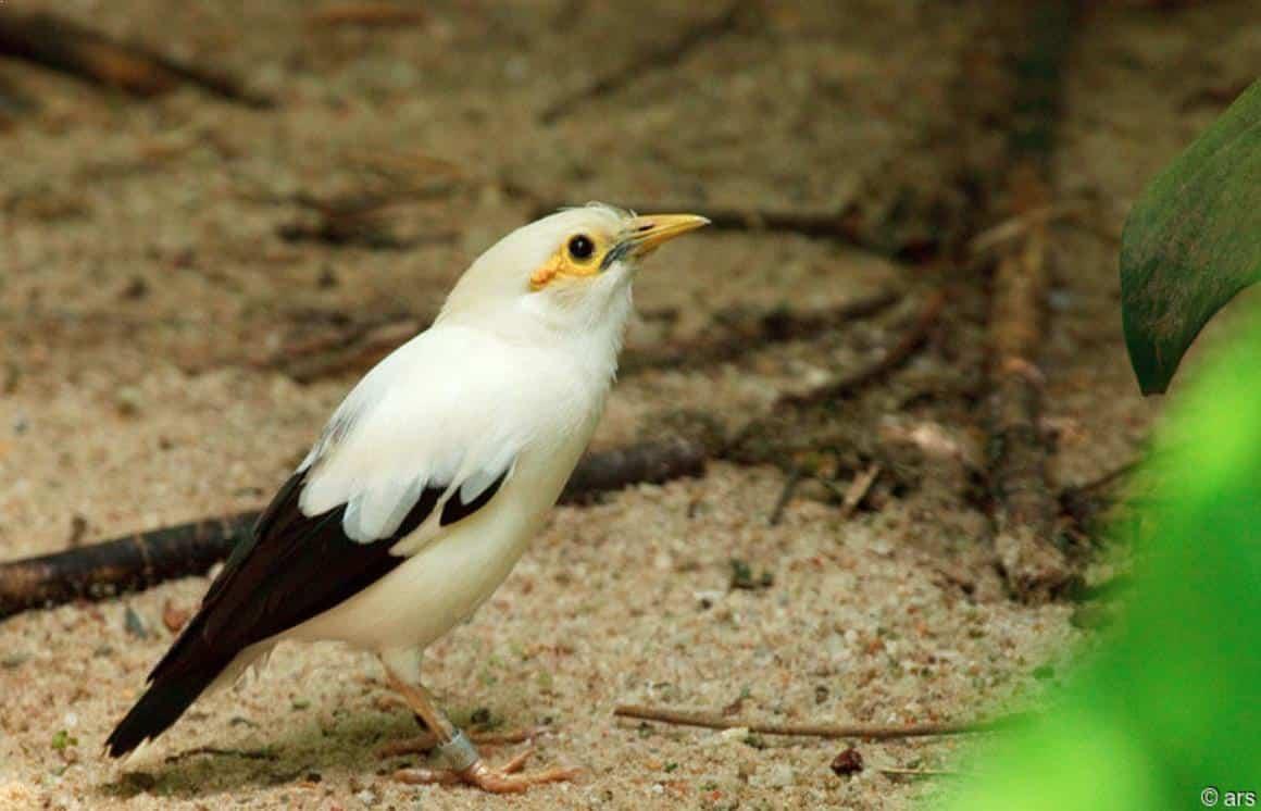 Gambar Burung Jalak Putih Jantan