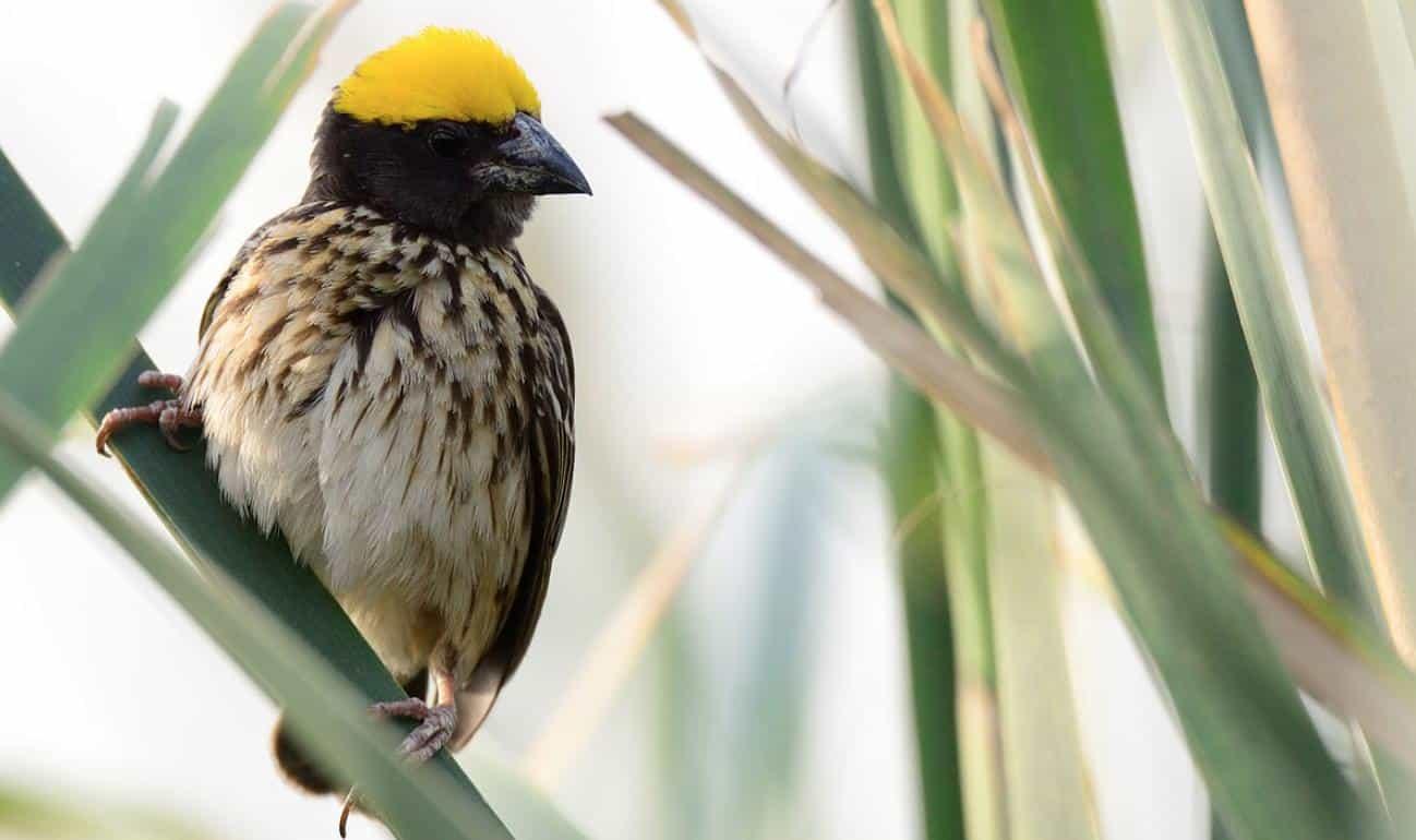Gambar Burung Manyar Jantan