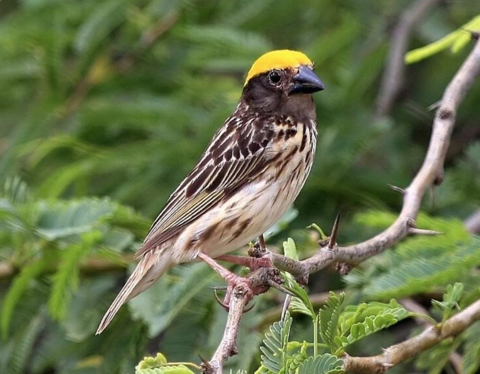 Gambar Burung Manyaran